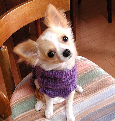 Chihuahua0406039